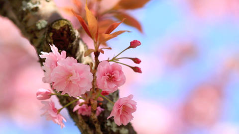 Blossoming cherry Stock Video Footage
