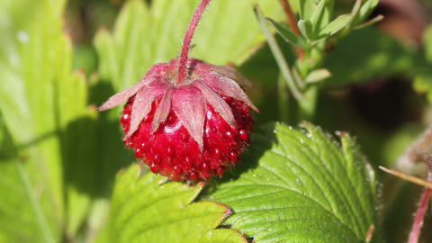 wild strawberry Stock Video Footage