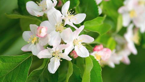 Blooming Apple Tree stock footage