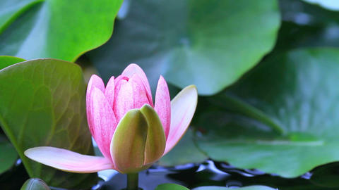 Lotus ( Water Lily) blooming on pond Footage