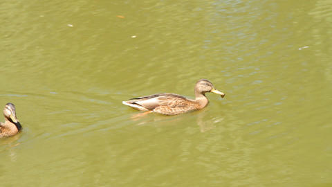 Ducks in the pond. Pond Ducks. Ducks resting in a Stock Video Footage