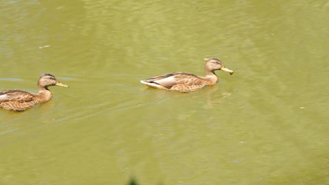 Ducks in the pond. Pond Ducks. Ducks resting in a  Footage