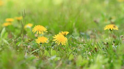 Yellow dandelion flowers in sunlight Footage