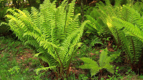 Forest floor fern, dolly shot Footage