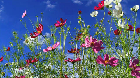 Cosmos flower Stock Video Footage