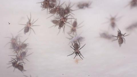 Funnel-web Tarantula Footage