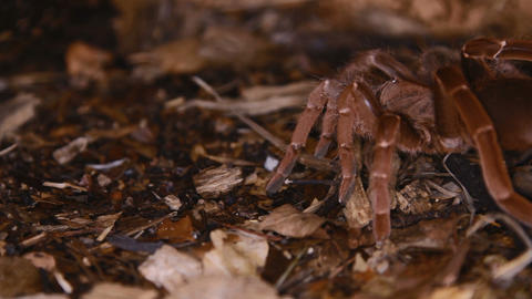 King Baboon Spider Stock Video Footage