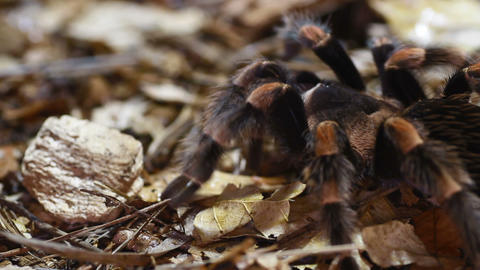 Mexican Redknee Tarantula Stock Video Footage