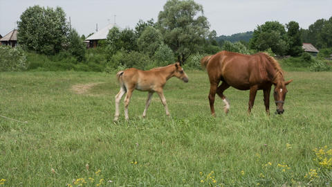 Mare and foal 3 Footage