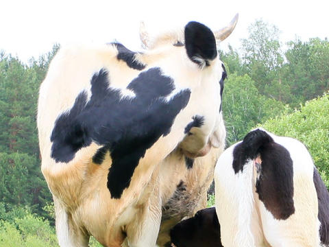 Calf sucks milk from the cow. 640x480 Stock Video Footage