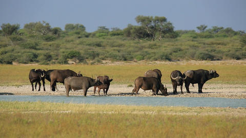 African buffaloes at waterhole Footage
