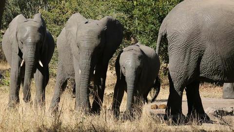 African elephants Stock Video Footage