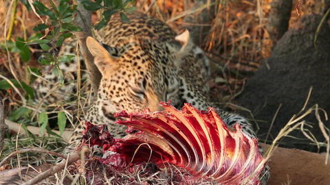 Feeding leopard Stock Video Footage