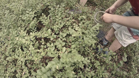 Boy picking blueberries Stock Video Footage