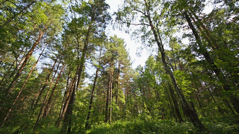 Siberian Pine Forest 03 Static Shot stock footage