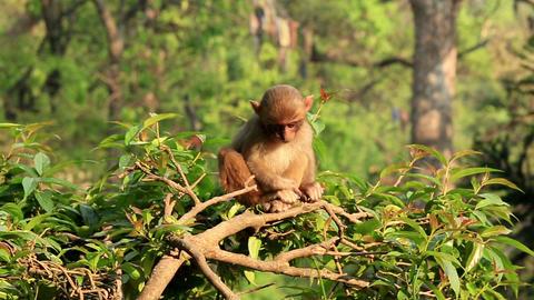 Macaque monkey on a tree in a Swayambhunath Stupa, Footage