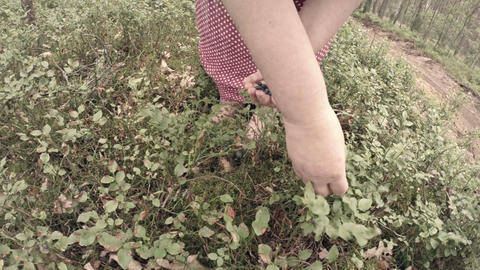 Woman picking blueberries Footage