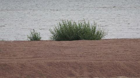 Bush on coast of Gulf of Finland. 4K Footage