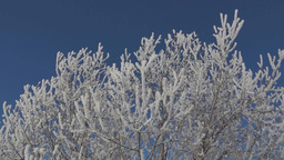 Winter tree covered with hoarfrost Footage