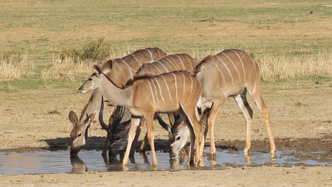 Kudu antelopes drinking 02 Footage