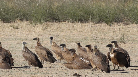 White-backed vultures Stock Video Footage
