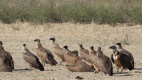 White-backed vultures Footage