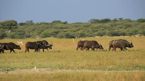 African buffaloes and springbok antelopes Live Action
