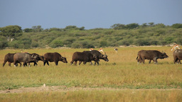 African buffaloes and springbok antelopes Stock Video Footage