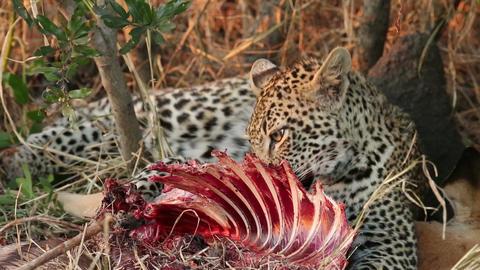 Feeding leopard Stock Video Footage