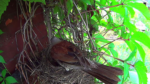 Bird sits on the eggs in the nest Footage