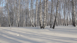 Glade in a winter birch forest Stock Video Footage