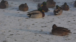 Ducks on snow Stock Video Footage