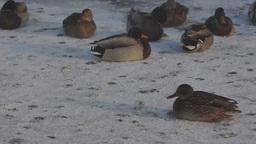 Ducks on snow Footage