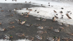 Wild ducks on a winter river Footage