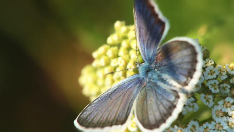 Butterfly and Flower. Macro Stock Video Footage