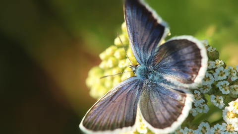 Butterfly And Flower. Macro stock footage