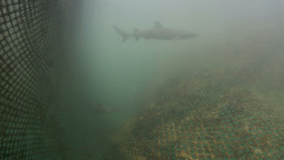 Whitetip Reef Sharks In Recovery Nursery Cage stock footage