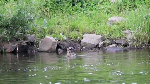 Ducklings swim in the duck. Ekaterinburg, Russia.. Footage
