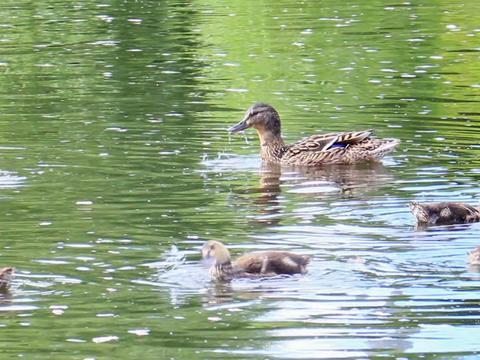 Ducks on the river. Ekaterinburg, Russia.. 640x480 Footage