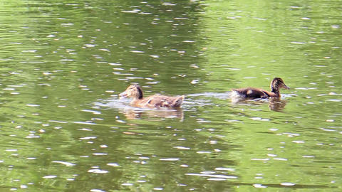 Ducks swim. Ekaterinburg, Russia Stock Video Footage