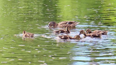 Ducks swim. Ekaterinburg, Russia.. 1280x720 Footage