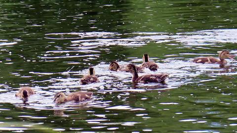 Ducklings eat bread. Ekaterinburg, Russia Footage