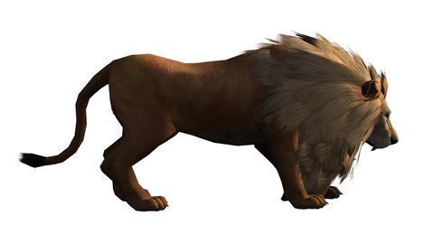 Lion attack bite eating,Endangered wild animal wil Footage
