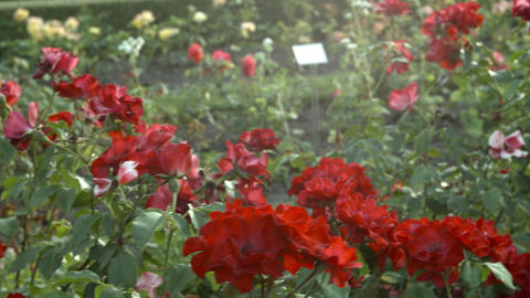bright red roses Stock Video Footage