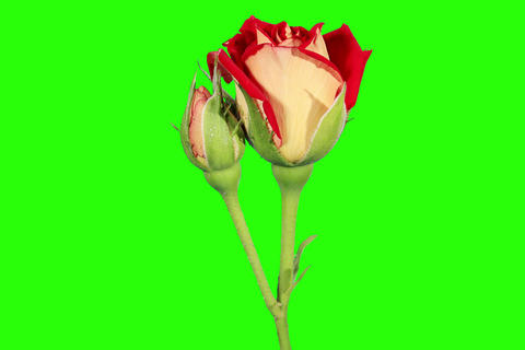 4K. Blooming red roses flower buds green screen, U Footage