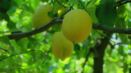 Three Lemons Hanging In Lemon Tree 25fps stock footage