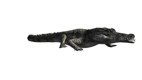Crocodile swaying body climb crawling,Dangerous animals Footage