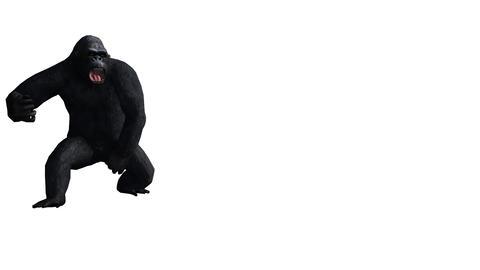 Chimp & Chimpanzee attack,Endangered wild animal Stock Video Footage