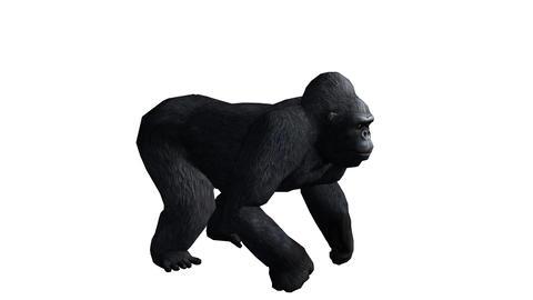 Chimp & Chimpanzee howl roaring,Endangered wild monkey animal Footage