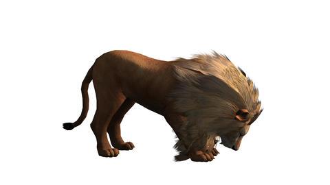 Lion bite eating,Endangered wild animal wildlife Footage